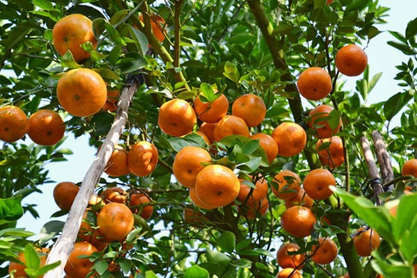 Những cây quýt sai trĩu quả