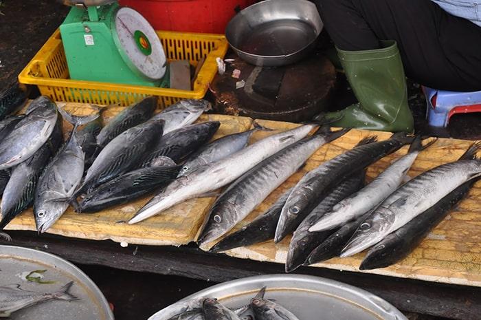 Cá nhồng ở vùng biển Phú Quốc thường dài, thân săn chắc, tròn lẳn