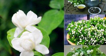 Tìm hiểu ý nghĩa hoa Nhài cùng Shop hoa tươi Mrhoa