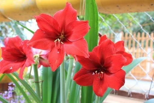 Hoa huệ lily