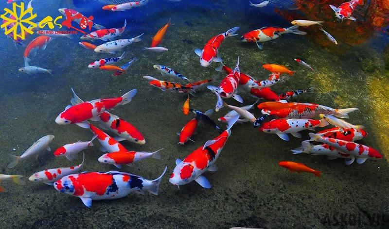 Hồ cá Koi phải đảm bảo đủ các điều kiện môi trường thuận lợi