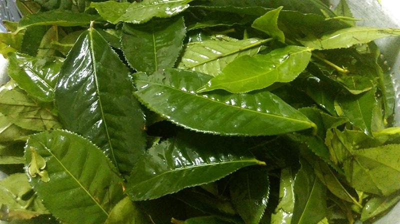 Sơ chế lá trà xanh trước khi pha