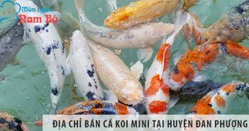 Địa chỉ bán cá koi mini đẹp, giá rẻ tại huyện Đan Phượng