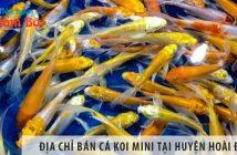 Địa chỉ bán cá koi mini đẹp, giá rẻ tại huyện Hoài Đức