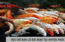 Địa chỉ bán cá koi mini đẹp, giá rẻ tại huyện Phúc Thọ